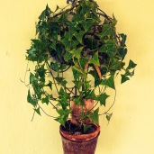 Ivy Pot_edited